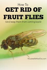 Small Flies In Bedroom How To Kill Fruit Flies And Prevent Them Too Housewife How Tosar