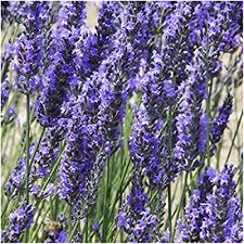 Seed Needs, Spike Lavender (Lavandula latifolia ... - Amazon.com