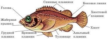 Класс Рыбы их строение классификация и основные отряды Таблица  Класс Рыбы их строение классификация и основные отряды Таблица Схема