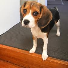 here to see our available beaglier puppies