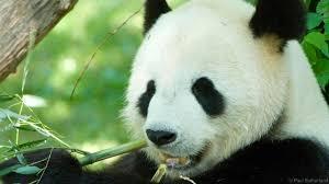 panda bear essays  panda bear essays
