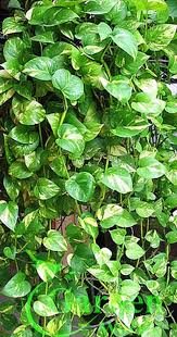 Golden Queen Pothos Vine - Devil's Snake Ivy Plant - House - Easy Care Low  Light