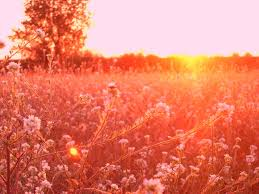Flower field sunset Red Sunset In Flower Field By Sergiu23 Deviantart Sunset In Flower Field By Sergiu23 On Deviantart