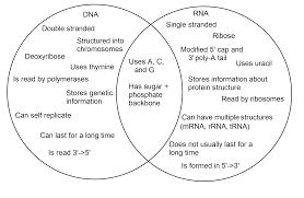 Mrna Trna Diagram Catalogue Of Schemas