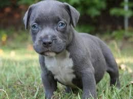 cute blue pitbull puppies. Wonderful Pitbull Blue Nose Pitbull Puppies With Blue Eyes On Cute Pitbull Puppies
