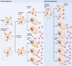 Humoral Immunity Flow Chart The Adaptive Immune Response B Lymphocytes And Antibodies