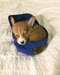 Puppy corgi sleep in each other's arms. Sleeping Corgi Puppy In A Hat Eyebleach
