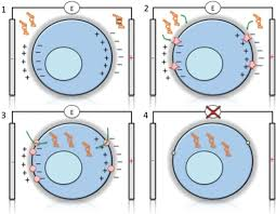 Electroporation Of Cells Electroporation Occurs Throug Open I
