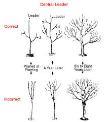 Create Small Fruit Trees With This Pruning Method  Organic Prune Fruit Tree