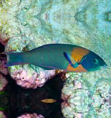 Oahu Fish Chart Hawaii Fish Marine Wildlife Information Maui Kauai Big