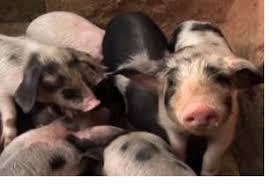 last rich gave carol an alternative gift it was a pig purchased through heifer international that pig has given carol and rich joy