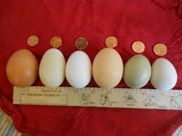Chicken Egg Nutrition Chart Duck Eggs Vs Chicken Eggs Backyard Poultry