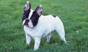 grown white french bulldog. Simple Bulldog With Grown White French Bulldog O
