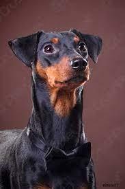 Ritratto di un cane tedesco pinscher in un papillon - foto d'archivio