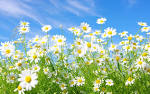 Images & Illustrations of daisies