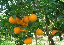 Risultati immagini per arance sicilia