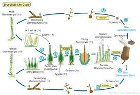 Venn Diagram Of Vascular And Nonvascular Plants Plants Ii Seedless Vascular Plants Biol 110 Vascular