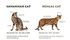 59 Problem Solving Bengal Cat Height
