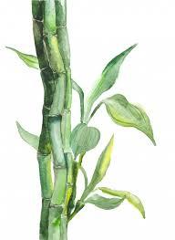 watercolor bamboo ilration premium vector