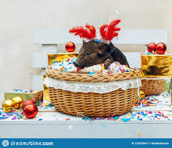 one black pig of vietnamese breed sits in a wicker basket near the decoration concept of the new year