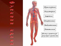 Кровь это жизнь Состав и функции крови й класс Назад