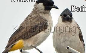 Mengenal lebih dekat burung flamboyan   perbedaan jantan dan betina flamboyan. Burung Flamboyan Jantan Download Flamboyan Mp4 Mp3 3gp Daily Movies Hub Suara Burung Flamboyan Jantan Dan Betina Mp3 Mp4