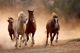 horses galloping in a field. Simple Galloping KimballStock_HOR 01 KH0042 01_preview In Horses Galloping A Field L
