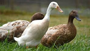 6 Duck Breeds To Raise For Eggs Hobby Farms