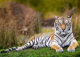 tiger essay 2 150 words
