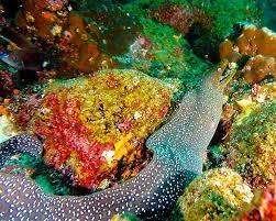 Trish Schoen, Spotted Moray Eel, Cousins Rock, Galápagos. | Galapagos,  Moray eel, Underwater