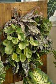 to combine plants is taking a chance at right or below on your screen the waxy round leafed hoya will be fine in a west window but the ferns will fry