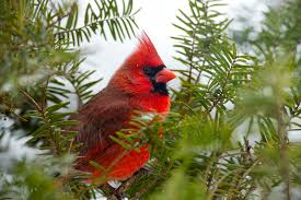 Image result for cardinal in a pine tree