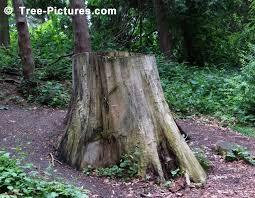 tree stump removal hardwood tree stumps rot slowly lasting a long time tree stumps