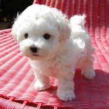 cute teacup maltese puppies needs new family