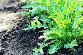 when to plant arugula when to plant arugula planting arugula seeds in fall when