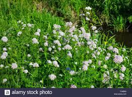 mon valerian all heal garden heliotrope garden valerian valeriana officinalis blooming germany