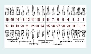 Tooth Chart 1 32 Education Natomas Sacramento Dentist