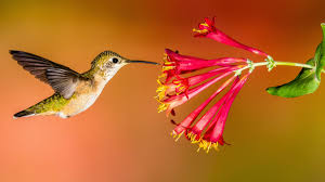 hummingbirds and flowers drawing. Unique Hummingbirds Inside Hummingbirds And Flowers Drawing O