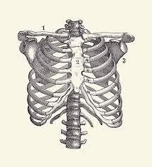 Rib cage , in vertebrate anatomy, basketlike skeletal structure that forms the chest, or thorax, and is made up of the ribs and their corresponding attachments to the sternum (breastbone). Shoulder And Rib Cage Diagram Vintage Anatomy Poster 2 Drawing By Vintage Anatomy Prints