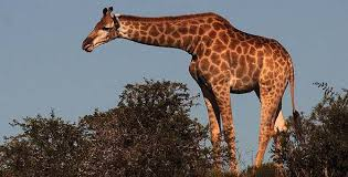 picture of a giraffe.  Picture Giraffe Intended Picture Of A I