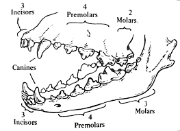 Dental Anatomy Of Dog Teeth