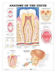 Laminated Anatomical Charts Anatomy Of The Teeth Laminated Anatomical Chart