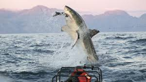 great white shark jumping for seal. Wonderful Seal In A Scene From The TV Series Air Jaws Apocalypse Discovery Channelu0027s  2012 Shark To Great White Jumping For Seal S
