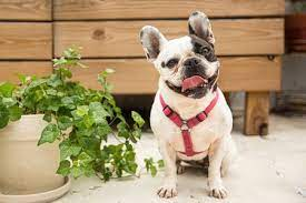are poisonous to dogs
