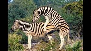 wild animals in african forest. Contemporary African Zebras Mating In The Wild African Jungle Intended Animals In Forest E