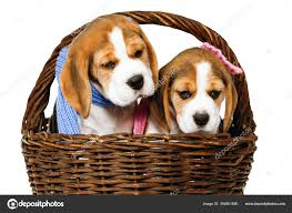 Two Purebred Puppies Beagle Dog Breed ...