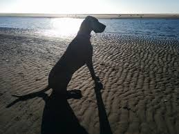 Image result for Great Dane on the beach with woman