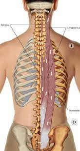 Be sure to add these baby back ribs to your summer barbecue menu. 8 Muscles Of The Spine And Rib Cage Musculoskeletal Key