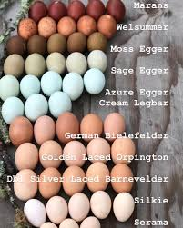 Pin On Green Egg Laying Breeds