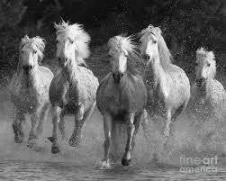 running horses black and white. Delighful White Camargue Photograph  Horses Running By Carol Walker With Black And White N